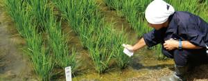 Klorofil Chlorophyll SPAD-502P Beras Hijau