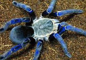 laba-laba biru
